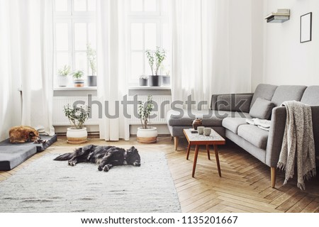 Stylish interior of living room with small design table and sofa. White walls, plants on the windowsill. Brown wooden parquet. The dog sleep on the carpet.