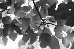 Stylized fig leaves on a branch, seen from below isolated on a white background, with leaf patterns, a native Texas plant in Austin