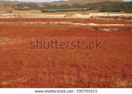 suaeda grass