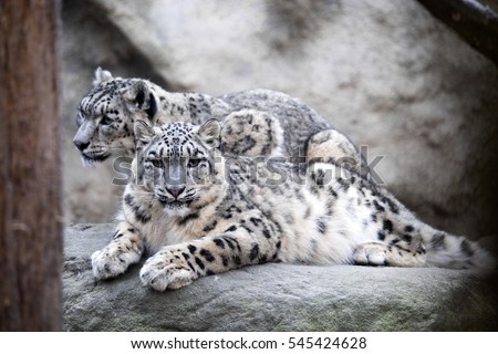 Stock Photo subadult snow leopard Uncia uncia, are threatened with extinction