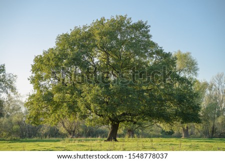 Sublime, even tree in the meadows in the evening hours. #1548778037