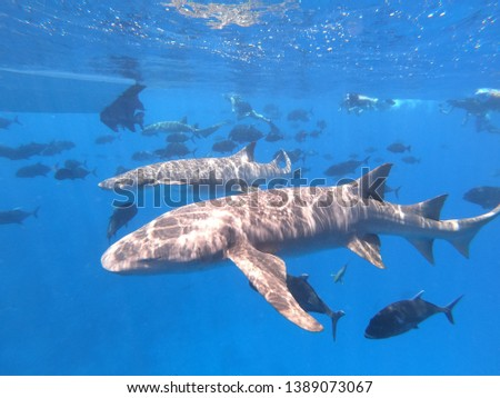 Submarine picture of two nurse sharks among many bluejacket fish in Maldives