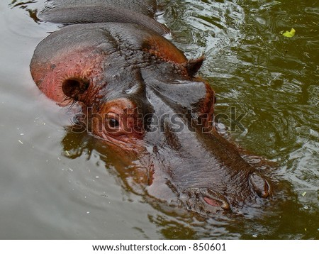Submerged Hippo with part of the head above water, close up.contains noise at larger sizes