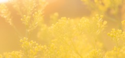 Subtle yellow background. Scenic nature summer background of small wild meadow flowers at evening. Soft focus blured image at sunny sunset time.