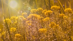 Subtle yellow-orange background. Scenic nature summer background of small wild meadow flowers at evening. Soft focus blured image at sunny sunset time.