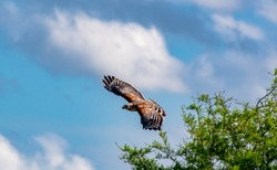 Suburban Coopers Hawk at Orlando Wetlands Florida.
