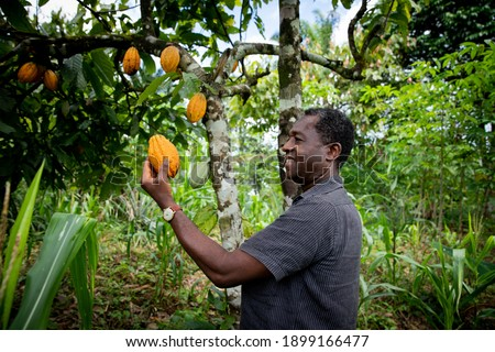 Successful african businessman looks satisfied at a cocoa bean from his plantation.