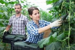 Successful female farmer hand harvesting crop of ripe cucumbers in large greenhouse in springtime