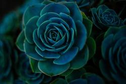 Succulent background. High quality texture of the succulent. Plant background. Cactus succulents in a planter. Floral arrangement.