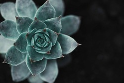 Succulent background. High quality texture of the succulent. Plant background. Selective focus.