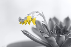 Succulent blooming on a gray background. Tinted image with yellow and gray shades