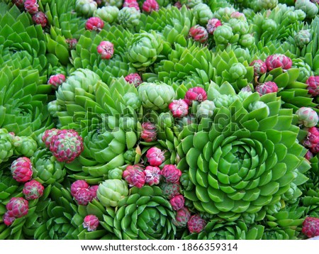 Succulent cactus plant as green pink garden background. Cacti aloe green succulent texture pattern, pink flower top view. Perennial succulent cluster for house geometry ornamental flatlay background