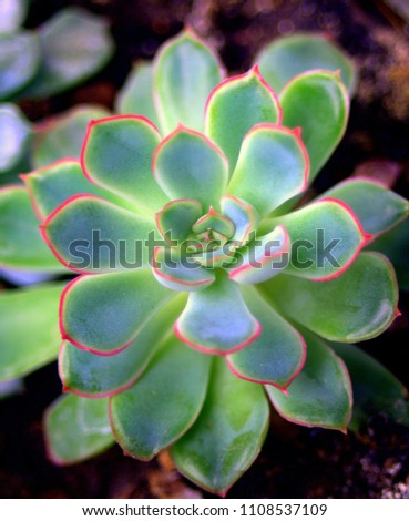 Succulent echeveria.Green leaves with a red border.
