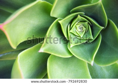 Succulent echeveria plant at winter - close up #792692830