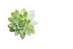 Succulent green flower isolated