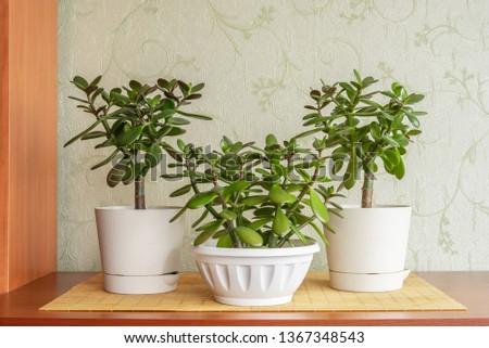 Succulent houseplant Crassula ovata in a pot on rustic background #1367348543