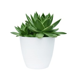 succulent in a white pot on a white background isolated