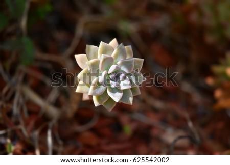 Succulent plant #625542002