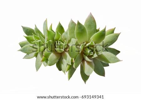 succulent plant in the garden