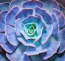 Succulent plant isolated on a white background