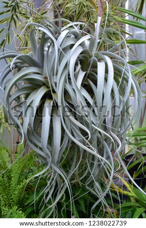 Succulent plant with pale gray long curly leaves with leathery surface.