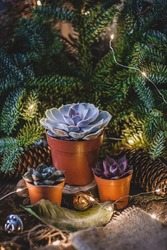 Succulent plants on fluffy succulent branches of a blue fir background