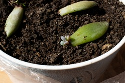 Succulent propagation in soil closeup: Graptoveria type succulent propagation technique