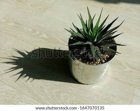 Succulent Zebra haworthia planted to recycle cans.