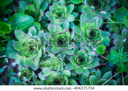 succulents in the garden, the succulents as background #404375734