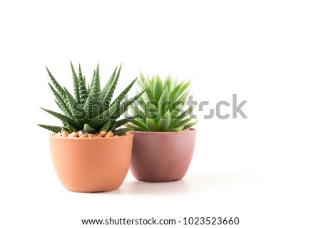 Succulents or cactus small plant in pot isolated on white background by front view