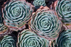 Succulents plant outdoors