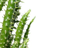 Succulents (stems of cactus with green needles). The blurred background turns into an isolated white color.