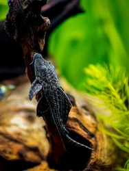 suckermouth catfish or common pleco (Hypostomus plecostomus) isolated in a fish tank with blurred background
