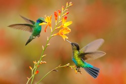 Sucking nectar from bloom. Wildlife flight action scene from tropical forest. Mountain bright animal from Panama. Fiery-throated Hummingbird, Panterpe insignis, shiny colorful bird in flight.