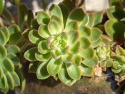 Suculent Echeveria close up in a planter