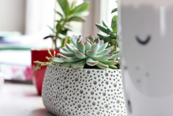 Suculent plants in white Scandinavian style pot