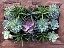 Suculents Plants