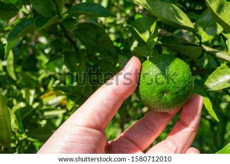 Sudachi is a citrus fruit of an evergreen broad-leaf tree in the Rutaceae family. It is popular in Japan, where its juice is used to improve the taste of many dishes, especially cooked fish, sashimi.