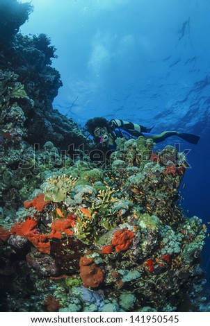 SUDAN, Red Sea, U.W. photo, a diver on the reef with tropical Anthias and fire corals (Millepora complanata) - FILM SCAN #141950545