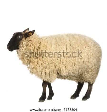 Suffolk Sheep in front of a white background