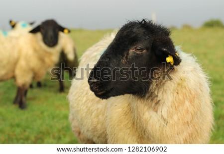 Suffolk Sheep Lamb close up side profile #1282106902