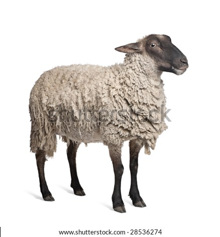 Suffolk sheep - (6 years old) in front of a white background