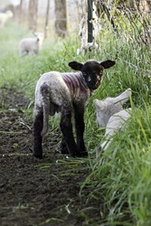 Suffolk spring lamb, looking over back