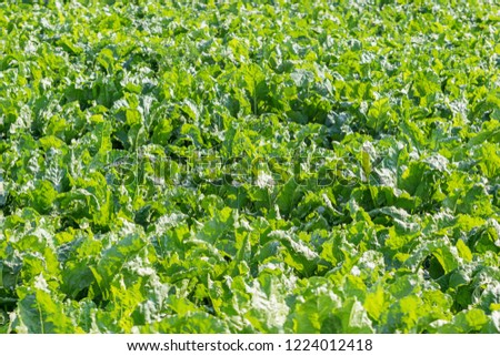 Sugar beet field. Green sugar beets in the ground.