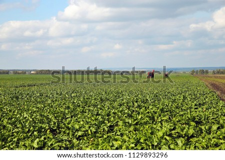 Sugar beet harvesting. Many combines in a large field