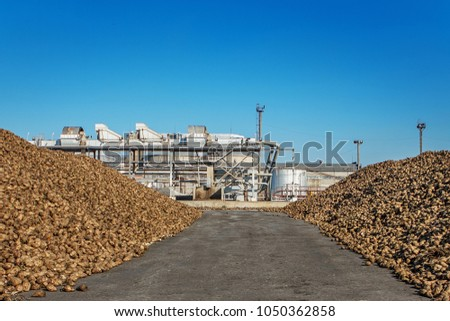 Sugar beet pile of the field after the harvest before processing at the plant for the production of sugar