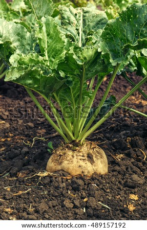Sugar beet root crop in the ground, selective focus
