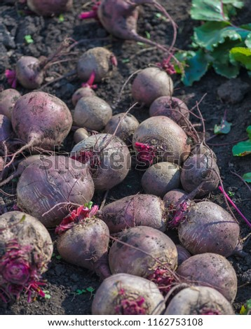 Sugar beet root crop in the ground, selective focus. Beetroot. Simply beet. Table beet. Garden beet. Ripe beets and on the ground in the garden with. Harvest.