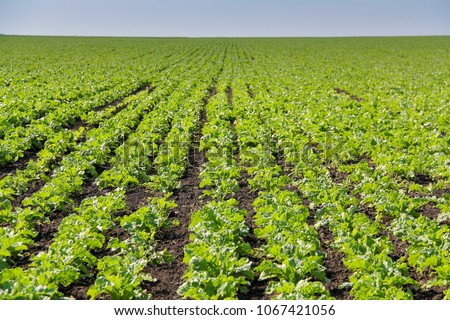 Sugar beets are young. Sugar beet field. Sugar beet.