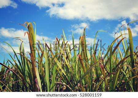 Sugar cane #528001159